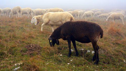 sheep-2805053_1920